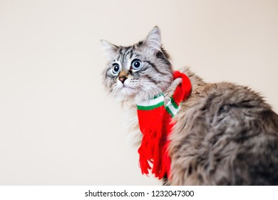 A beautiful striped cat with a scarf on his neck looks distantly against the background of the wall
