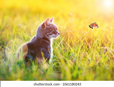 beautiful striped cat sits in the green grass on a Sunny meadow in the summer and looking at flying to the sun the butterfly