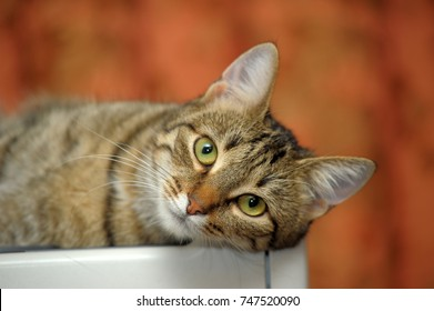 european shorthair images stock photos vectors shutterstock