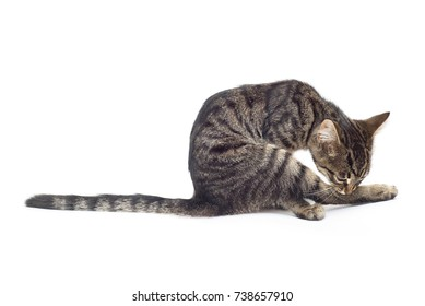 Beautiful striped kitten of gray isolated on white background. Cat licking its paws for purity. Place for text. Tiger color