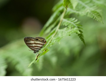 A beautiful striped satyr butterfly in the lush green jungle of Costa Rica, Central America.