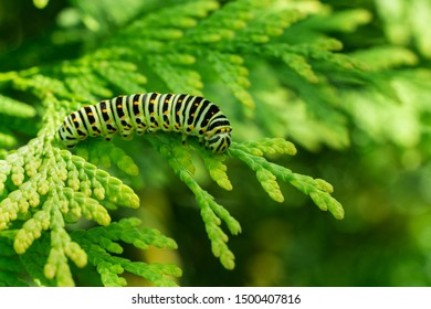 Beautiful striped Swallowtail butterfly caterpillar sits on green branch of western thuja. Macro caterpillar of Papilio machaon butterfly. Selective focus
