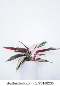 Beautiful Stromanthe Triostar Sanguinea Plant