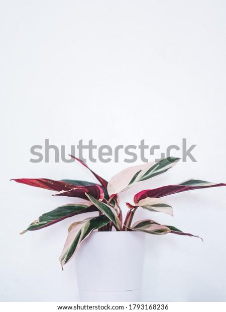 Beautiful Stromanthe Triostar Sanguinea Plant