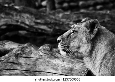Beautiful and strong lioness head of a lioness side of the frame.