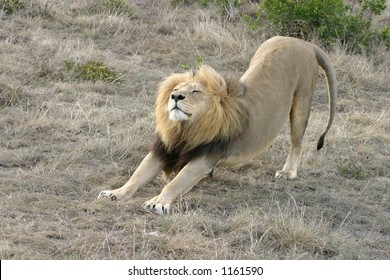 Beautiful, Strong, Male, Wild Lion Stretching Out Front Legs with Grassland Background in South Africa.