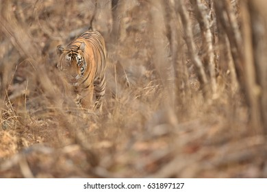 Beautiful and strong tiger male in amazing light/wild animal in the nature habitat/India, big cats, endangered animals, what a look, close up