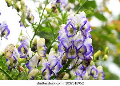 Beautiful but strongly poisonous garden plant in rustic garden. A flower of the aconite in macrophotography.