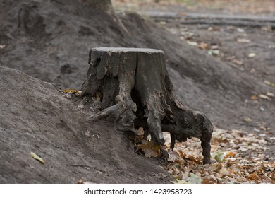 Beautiful stump with protruding roots. Old big stump in the park.