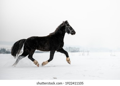 Beautiful stunning animal, horse stallion mare of welsh pony on snowy background. Running horse in snow.