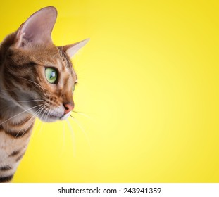Beautiful stylish Bengal cat. Animal portrait. Bengal cat is lying. Yellow background. Collection of funny animals