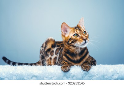 Beautiful stylish Bengal cat. Animal portrait. Bengal cat is lying. Blue background. Collection of funny animals