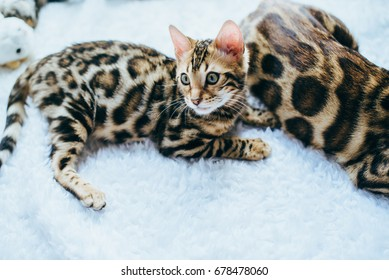 Beautiful stylish Bengal cat. Animal portrait. Bengal cat is lying. White background. Collection of funny animals