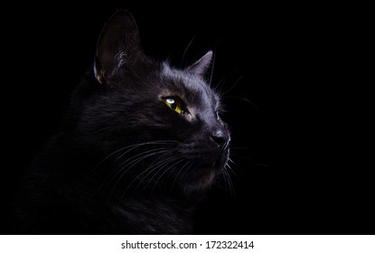 Beautiful stylish black purebred cat. Animal portrait. Purebred cat is lying. Black background. Colorful decorations. Collection of funny animals