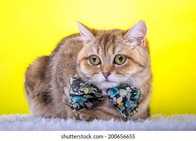 Beautiful stylish british cat. Animal portrait. British cat with bow-tie is lying. Yellow background. Colorful decorations. Collection of funny animals