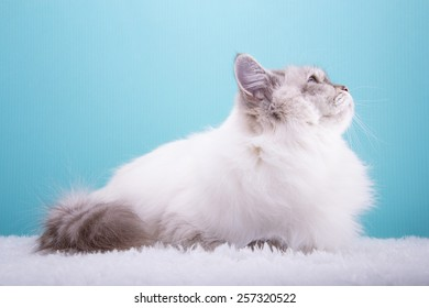 Beautiful stylish purebred cat. Animal portrait. Purebred cat is sitting. Blue background. Colorful decorations. Collection of funny animals