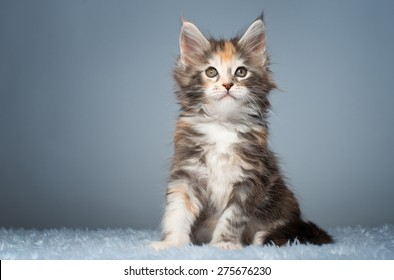 Beautiful stylish purebred maine coon cat. Animal portrait. Purebred cat is lying. Colorful decorations