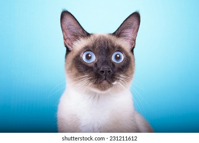 Beautiful stylish Siamese cat. Animal portrait. Siamese cat is lying. Blue background. Colorful decorations. Collection of funny animals