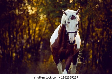beautiful and sublime stallion Prince trotting on summer sunset, paint horse, brown and white horse in summer sunset, horse portrait