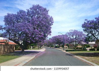 Beautiful suburban street colored in purple by Jacaranda trees abloom - Perth, Western Australia