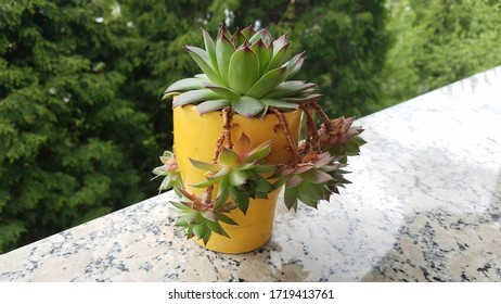 Beautiful succulent in a bright yellow tall vase with marble and green background