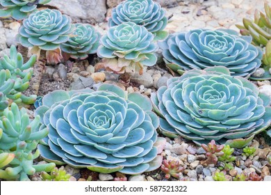 beautiful succulent plant in garden