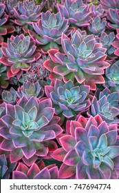 Beautiful succulent plants, echeveria succulents arranged on the ground