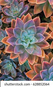 Beautiful succulent plants top view, echeveria succulents arranged on the ground