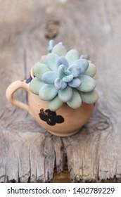 Beautiful suculent in a clay pot