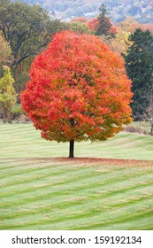 A beautiful sugar maple with peak fall colors.
