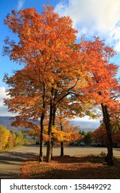 A beautiful sugar maple tree in full peak fall foliage on Mount Equinox in Manchester Vermont.
