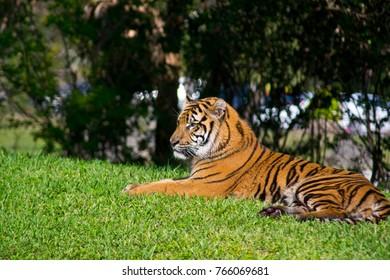 Beautiful Sumatran Tiger
