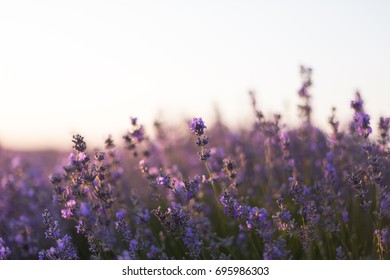 Beautiful summer background with a lavender