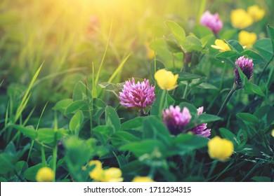 beau champ d'été, herbe verte, fleurs de trèfle, lever de soleil matinal ensoleillé, prairie de coucher de soleil, fleurs sauvages, espace de copie
