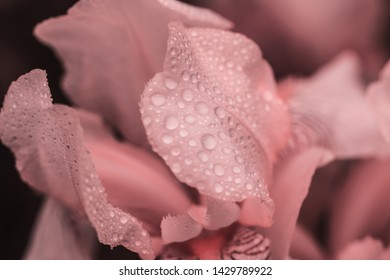 Beautiful summer flower. Iris. Perennial rhizomatous plant of the Iris family (Iridaceae) with dew drops. Sunny day.  Luxurious pink  flower. Close up