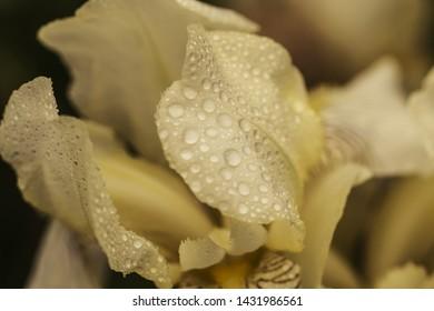 Beautiful summer flower. Iris. Perennial rhizomatous plant of the Iris family (Iridaceae) with dew drops. Sunny day.  Luxurious yellow flower. Close up