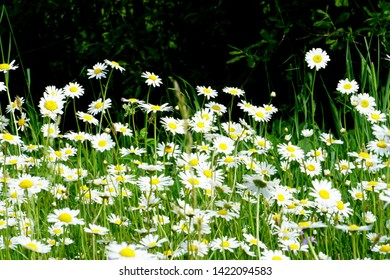 Beautiful summer flower meadow with white flowers,Daisy flowers. Symphyotrichum ericoides (syn. Aster ericoides), known as white heath aster, white aster or heath aster. White meadow flower background