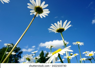 Beautiful summer flower meadow with white flowers,Daisy flowers on blue sky. Symphyotrichum ericoides (syn. Aster ericoides), known as white heath aster, white aster or heath aster.