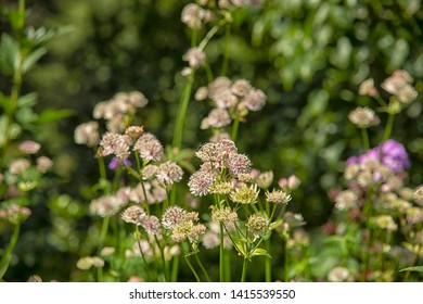 Beautiful summer flowering Astrantia major flower commonly known as Masterwort in an English garden