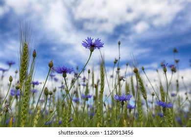 Beautiful summer landscape. Blue flowers of a cornflower in the field and clouds in a blue sky