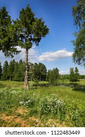 Beautiful summer landscape. Coniferous wood and chamomile near the pond