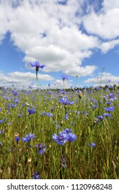 Beautiful summer landscape. Cornflowers in the field
