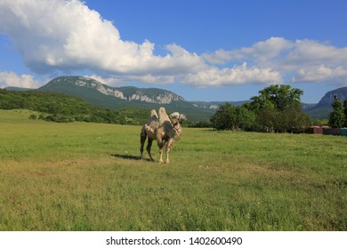 Beautiful summer landscape in Crimea with a camel in the field on a sunny day