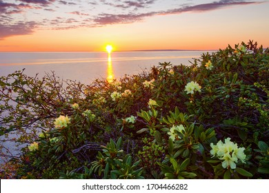 Beautiful summer landscape with dawn over the river and blooming rhododendron flowers. June midnight sun in the far north in the Arctic. Golden sunlight. Rhododendron aureum. Chukotka, Siberia, Russia