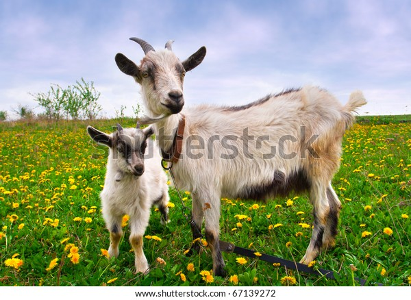 Beautiful summer landscape with a goat and kid