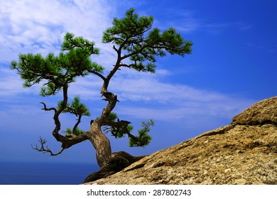 Beautiful summer landscape - a lone pine tree growing on the slope of the mountain in the Crimea, on the background of blue sky