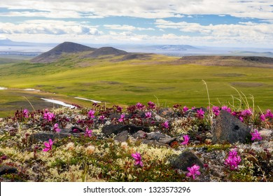 Beautiful summer landscape. Wild flowers Rhododendron camtschaticum bloom on the hills. In the distance Anadyr estuary. In the sky, clouds. Golden Ridge, Chukotka, Siberia, Far East of Russia. Arctic.