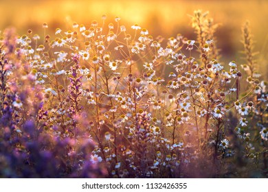 Beautiful summer meadow with colorful flowers in sunset light