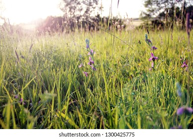 Beautiful summer meadow with wild bee orchids, grass and sunlight, in France