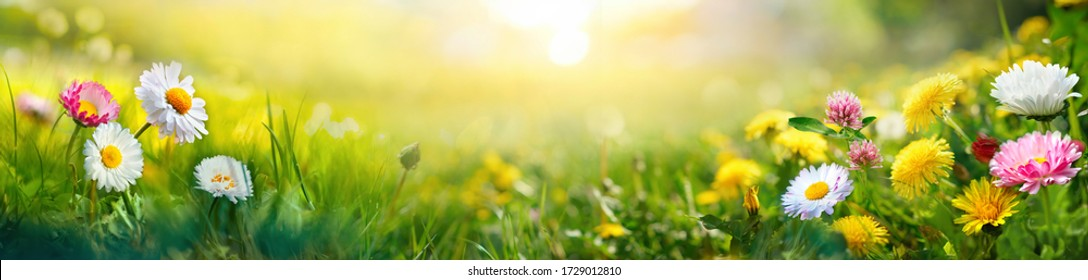 Beautiful summer natural background with yellow white flowers daisies, clovers and dandelions in grass against of dawn morning. Ultra-wide panoramic landscape,  banner format.